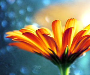flower, blue, and orange image