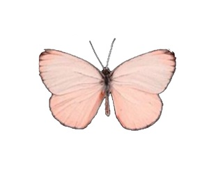 butterfly, overlay, and pink image