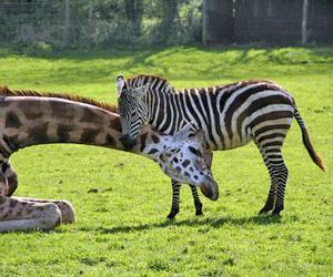 giraffe, zebra, and cute image