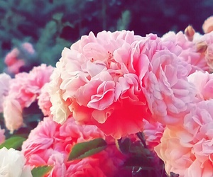 beauty, rose, and nature image