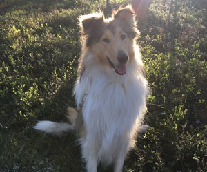 beautiful, dog, and rough collie image
