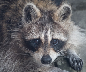 animals, raccoon, and cute image