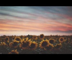 sunflowers and sunset image
