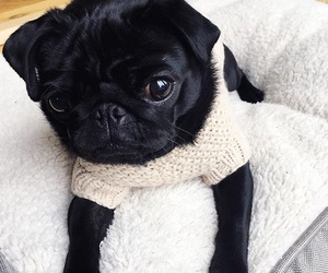 dog, zoella, and pug image