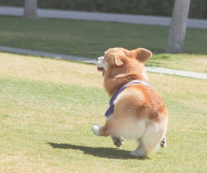 dog, cute, and corgi image