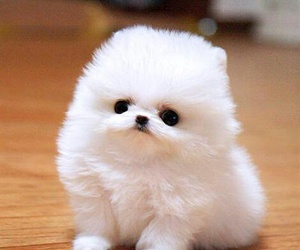cute, fluffy, and pomerani image