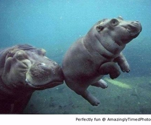 baby hippo, hippos, and need a lift? image