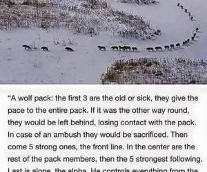 wisdom, wolf pack, and wolf image