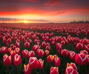 flowers, tulips, and amazing image