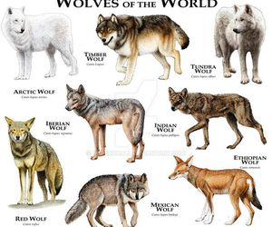 wolf, animals, and sweet image