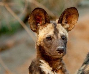 adorable and african wild dog image