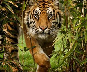 big cat, tiger, and water image