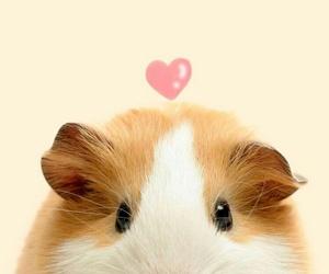 animal, guinea pig, and hamster image