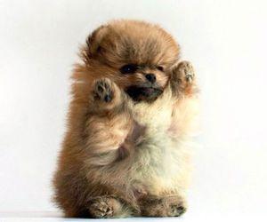 puppy, dog, and pomeranian image