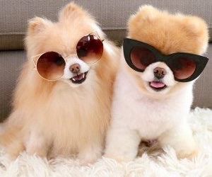 dogs, fluffy, and sunglasses image