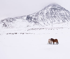 horse, horses, and iceland image