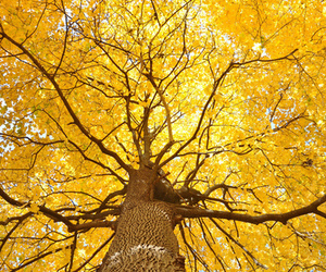 tree, yellow, and autumn image