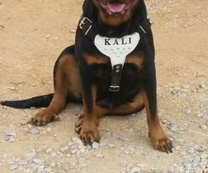 animal, dog, and rottweiler image