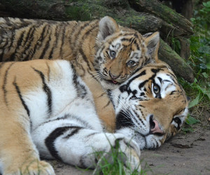 animals, tiger, and tigers image