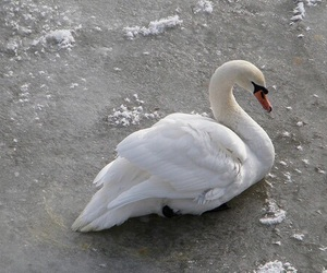 theme, aesthetic, and Swan image