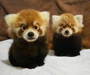 Red panda image