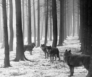 wolf, black and white, and nature image