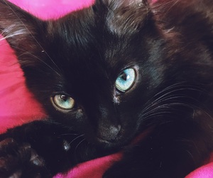 animal, black, and black cat image