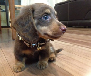 animal, animals, and dachshund image