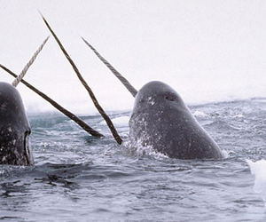 narwhal, animal, and ocean image