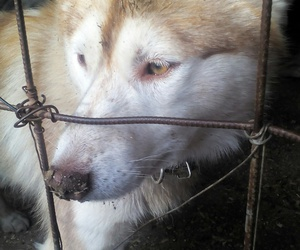 собака, грусть, and хаски image