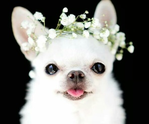 chihuahua, flowers, and dog image