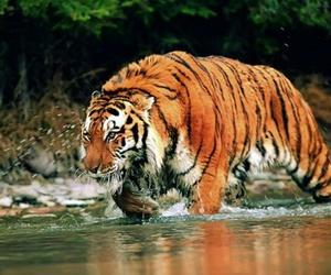 animals, naturaleza, and tigre image