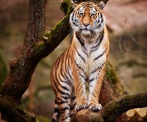 tigre and wild image