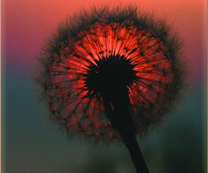 nature, flowers, and dandelion image