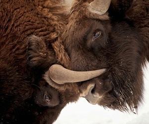 bison, buffalo, and nature image
