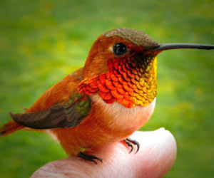 animals, birds, and humming bird image