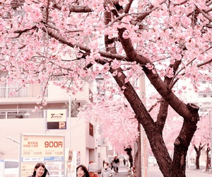 cherry blossom, japan, and pink image