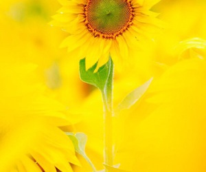 flower, sunflower, and 向日葵 image