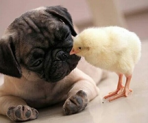Chick, cute, and dog image