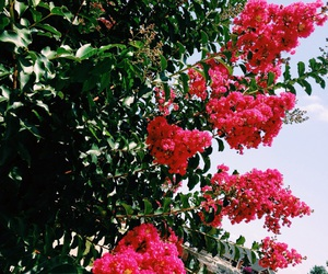 crepe myrtle, pink flowers, and plant image