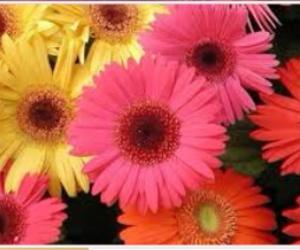 flores and gerberas image