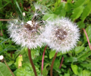 dandelions, flowers, and sun image