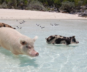 animals, pigs, and sand image