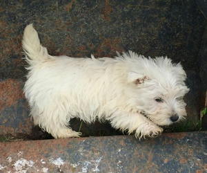 puppy, tomboy, and west highland white terrier image