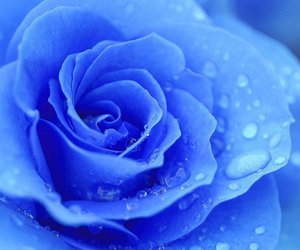 rose and blue image