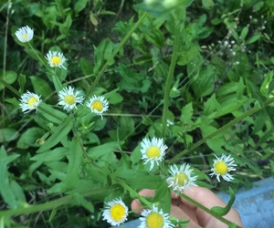 beauty, daisy, and weeds image