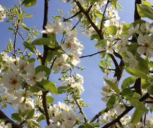 blossom, blue, and trees image