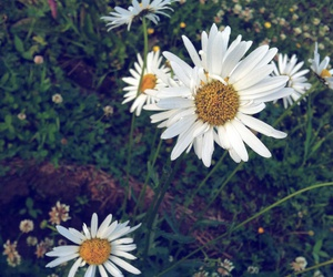 daisy, flower, and peace image
