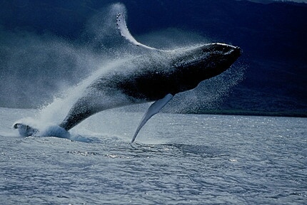animals, whale, and love image