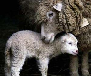 sheep, animal, and lamb image